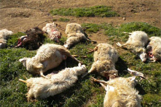 pecore-sbranate