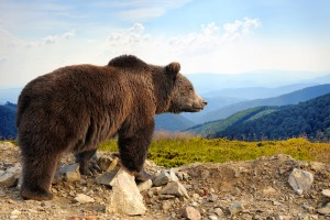 Big brown bear (Ursus arctos) in the mountain